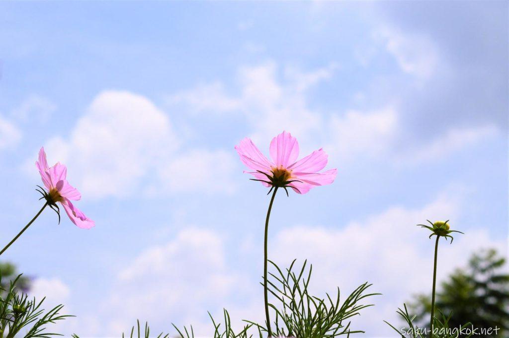 コスモスが咲くほど涼しいダラット
