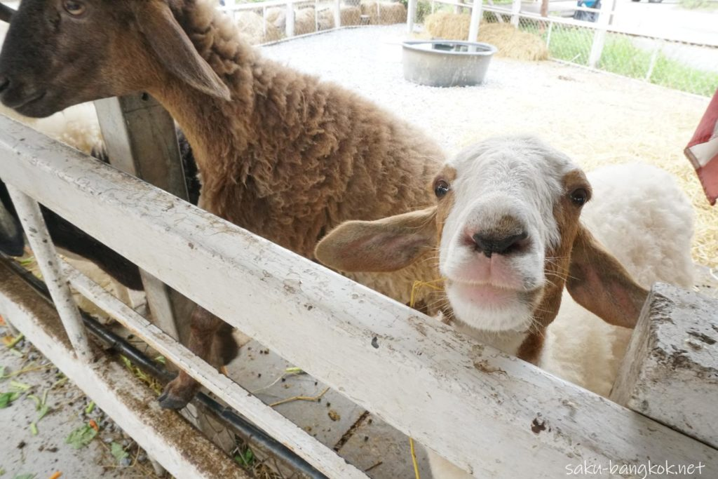 バンコクにあるクローンラットマヨム水上マーケット 山羊の餌やり